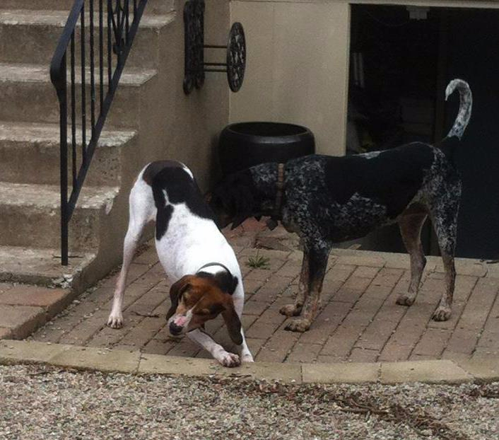 treeing walker coonhound dog adoption playing