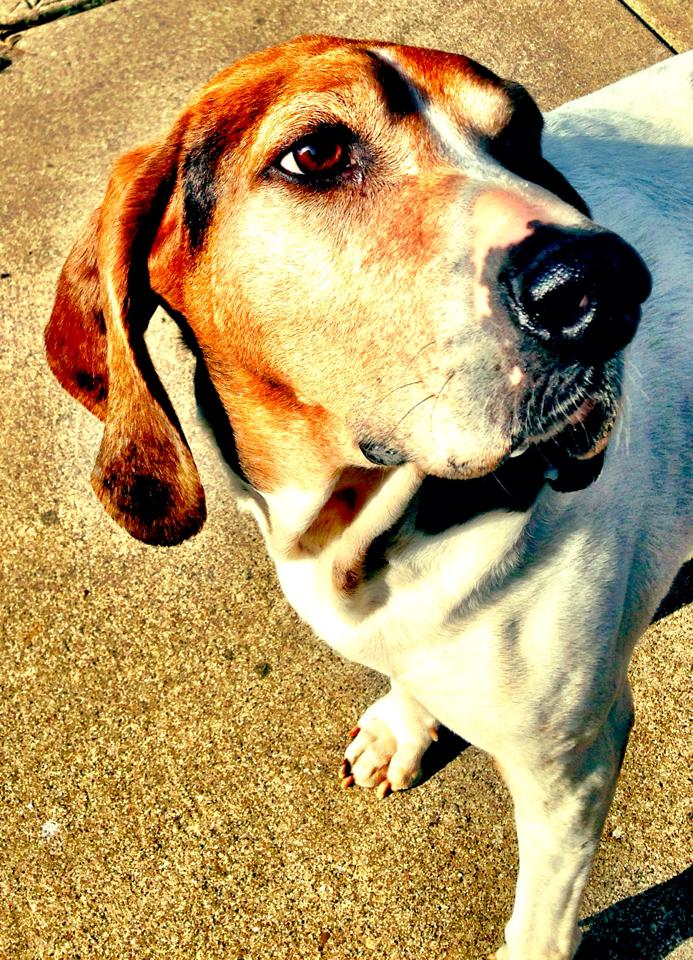 treeing walker coonhound dog profile