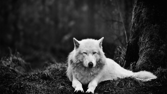 white wolf in need